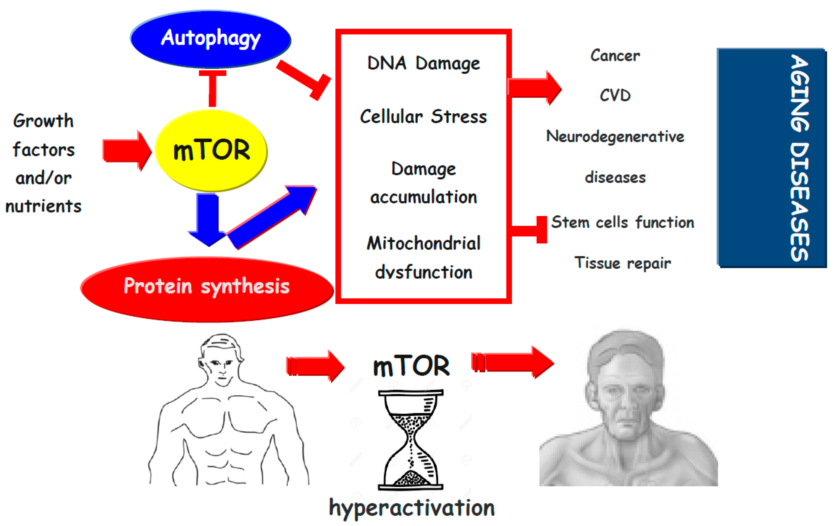 mTOR and the Science of Aging and Chronic Disease