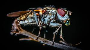 These insects carry enough bacteria to the cause